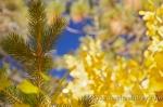 Lake tahoe fall foliage_5